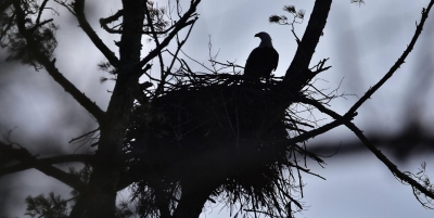 Bald Eagle bonanza in Barrett Twp., Lake Wallenpaupack