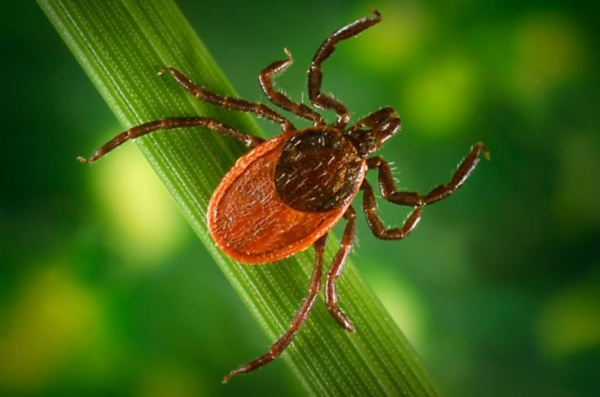 Pentagon may have released weaponized ticks that helped spread of Lyme disease: investigation ordered