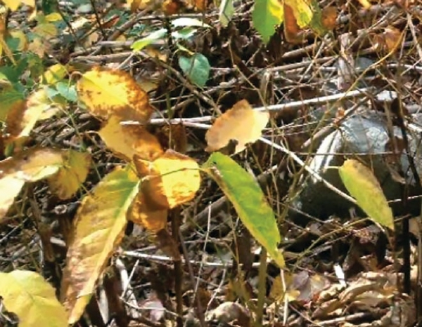 Knocking out knotweed in Mountainhome | Carol Hillestad